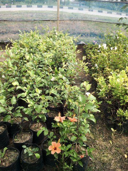 Jujube Appleber Grafted  Plant