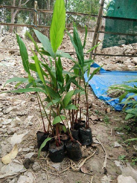 Larg Cardamom Plant