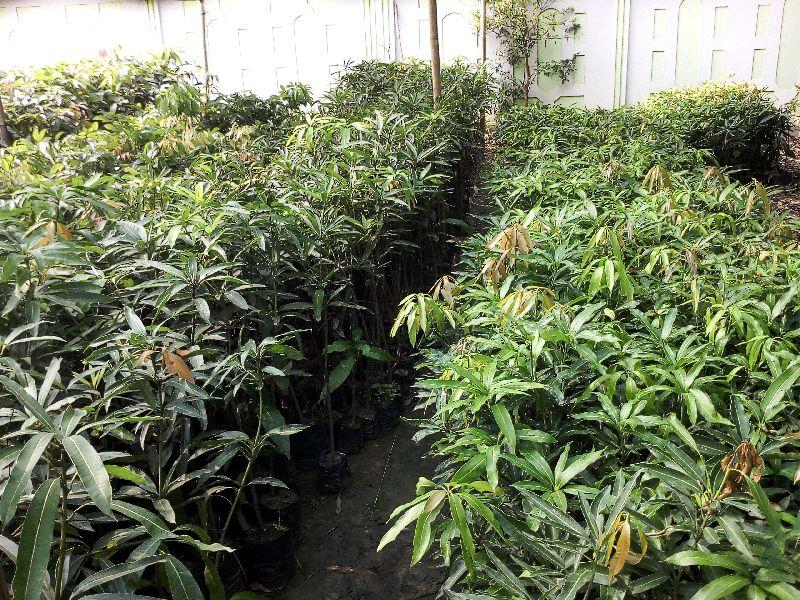 Mango Malda Grafted Plant