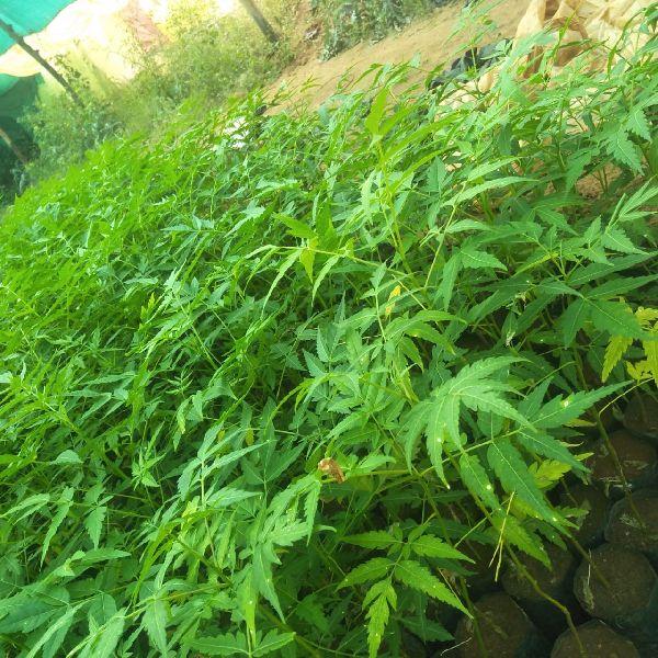 Melia Dubia Neem Plant