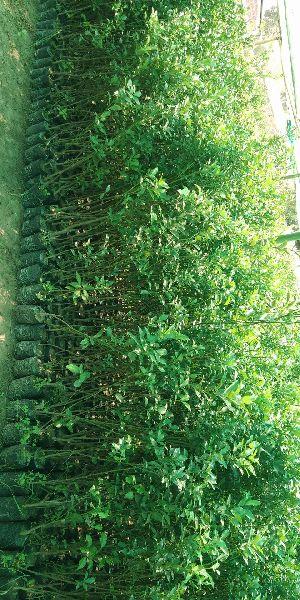 Orange Grafted Plant