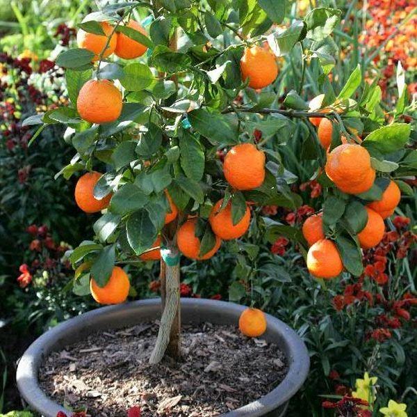 Rangpur Lime Acid plant