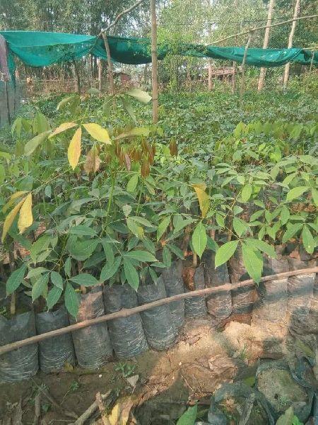 Rubber RRIM-430 Plant