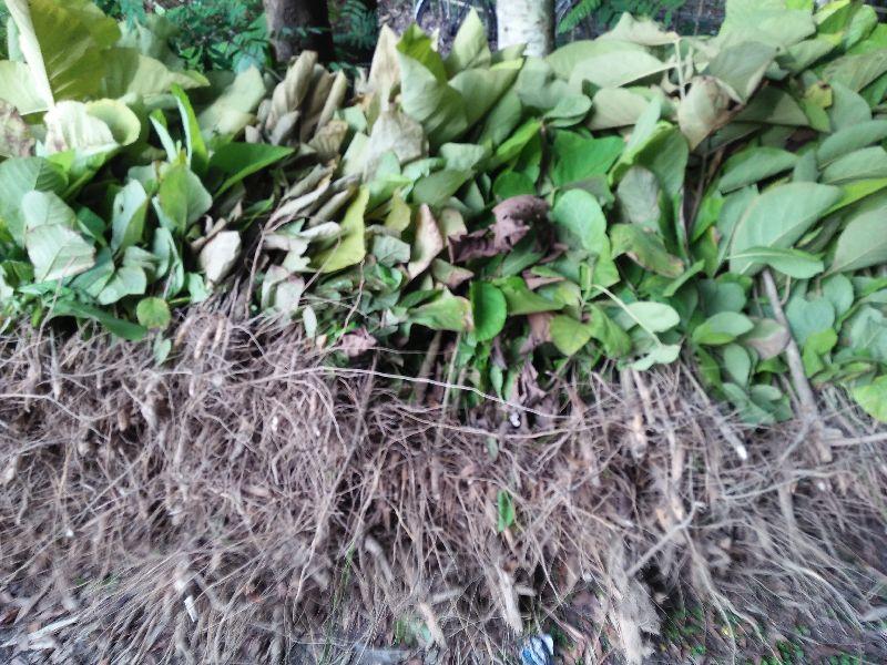 Teak Stump Necked Plant