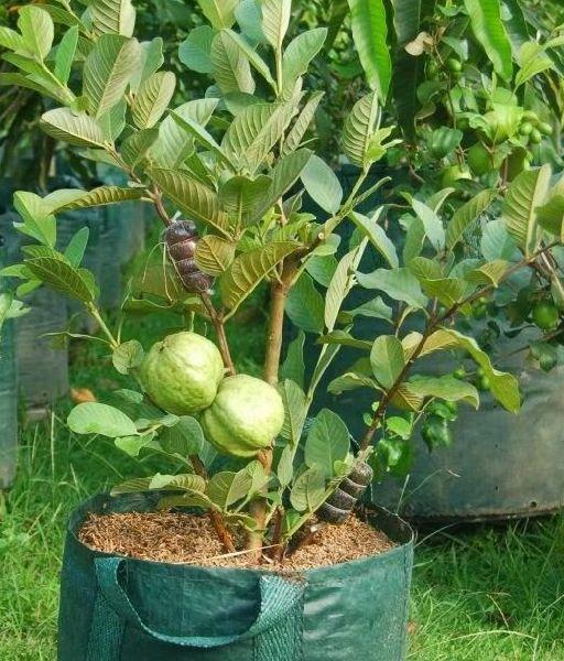 Thailand Guava Plant