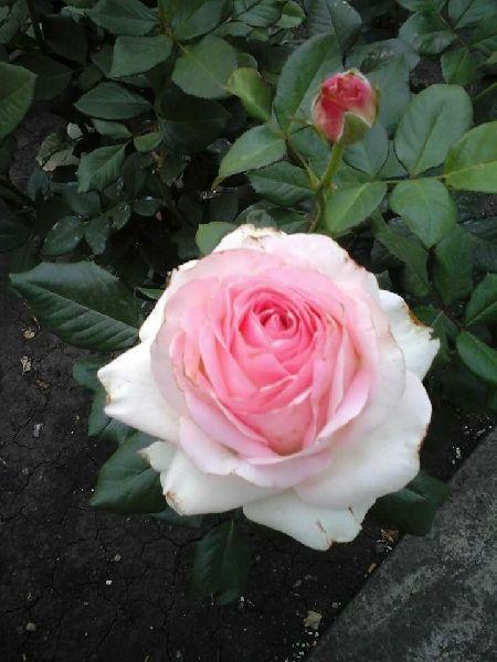 White Rose Crimson Plant