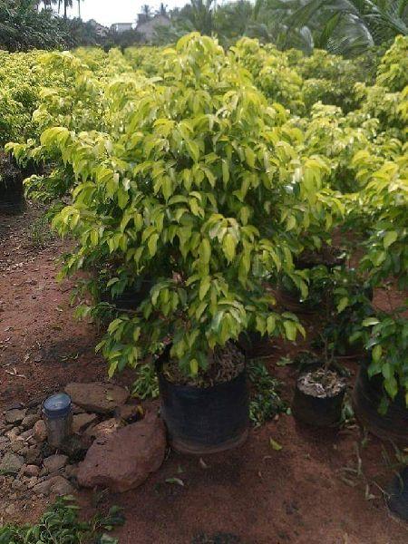 Yellow Ficus Tree