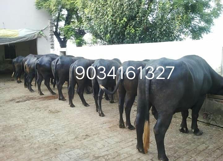 Dairy Haryana Murrah Buffalo