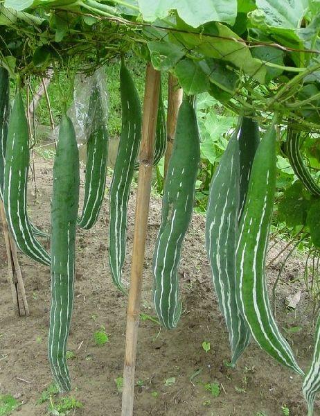 Fresh Serpent Gourd