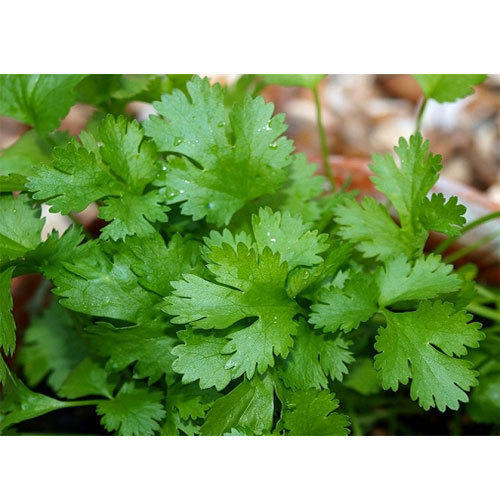 Natural Coriander Leaves