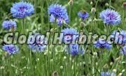 Centaurea Cyanus Flower 02