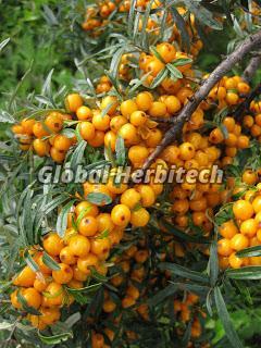 Hippophae Rhamnoides Tea 02