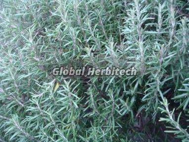 Rosmarinus Officinalis Tea