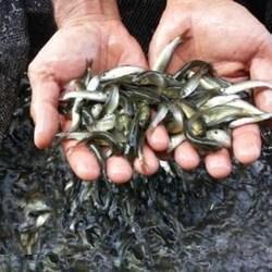 Grass Carp Fish Seeds