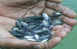 Gurame Fish Seeds