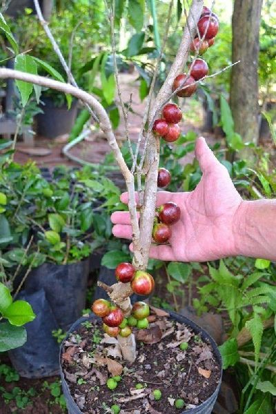 Barbados Cherry Grafted Plant