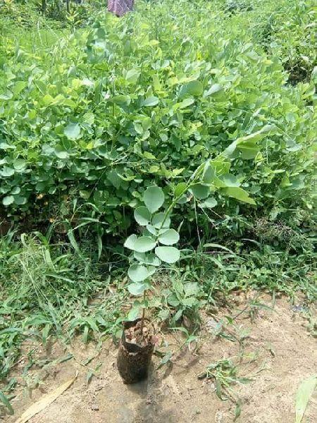 Dalbergia Sisoo Plant