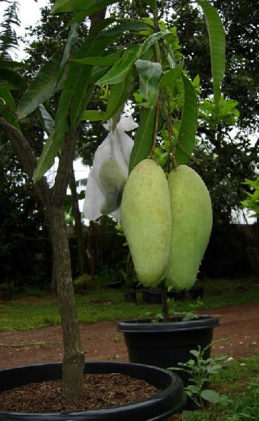 Mango Malika Grafted Plant