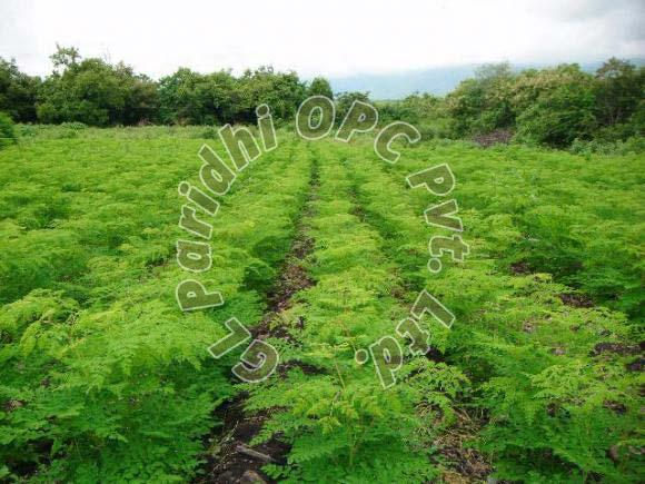 Moringa Contract Farming Services
