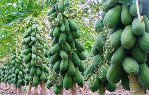 Papaya Contract Farming Services