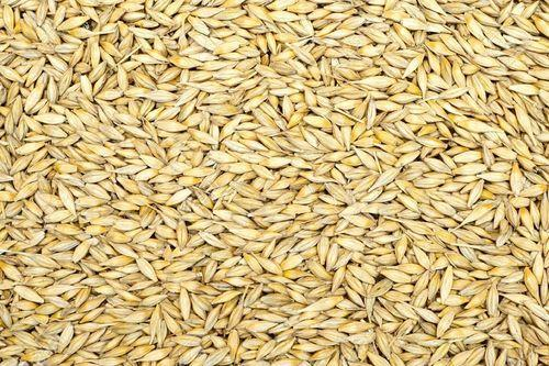 Yellow Barley Seeds