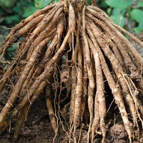 Asparagus Roots