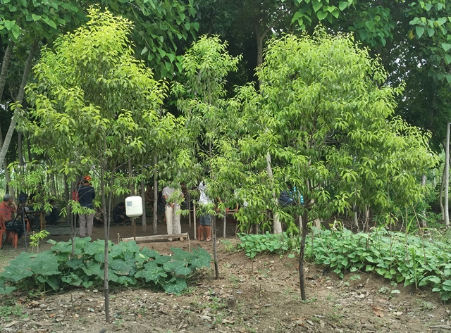 Sandalwood Cultivation