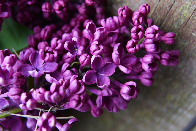 Lilac Absolute Oil