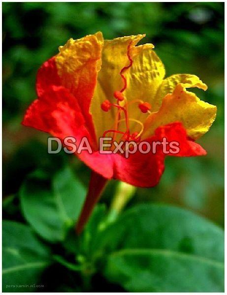 Gulbakshi Flower