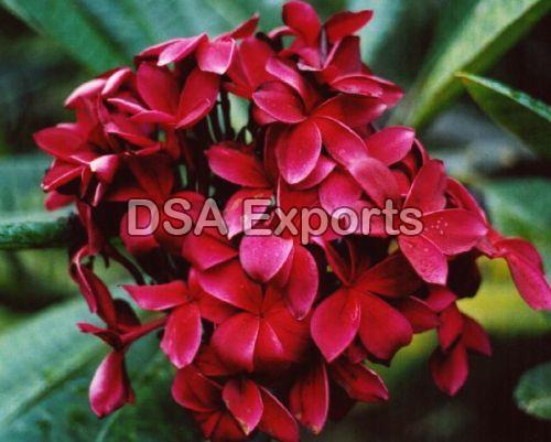 Red Plumeria Frangipani Flower
