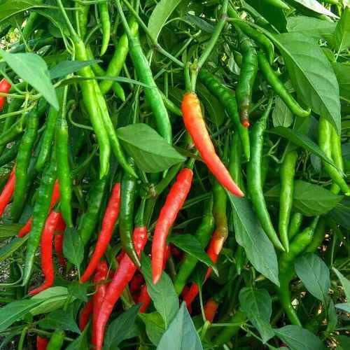 F1 Hybrid Chilli Seeds