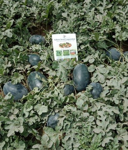 F1 Hybrid Icebox Watermelon Seeds