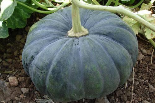 F1 Hybrid Pumpkin Seeds