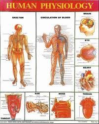 Human Physiology Chart