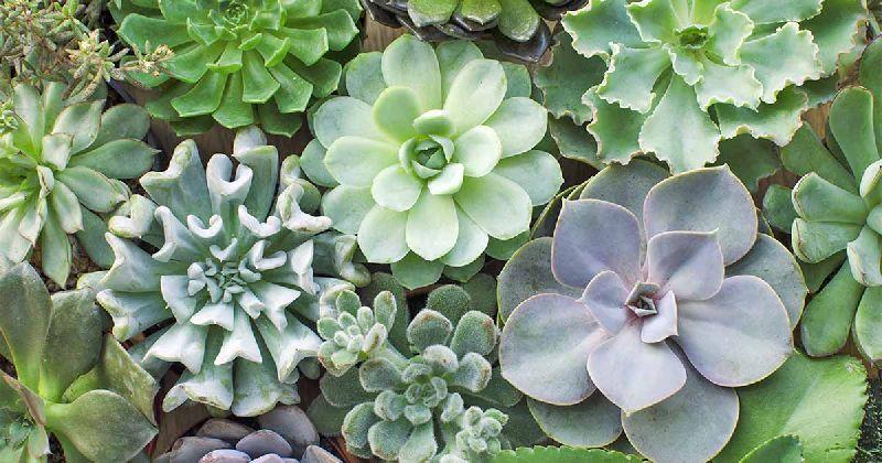 Exotic Succulents