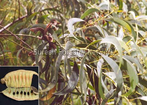 Acacia Cracicarpa