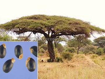 Acacia Planifrons