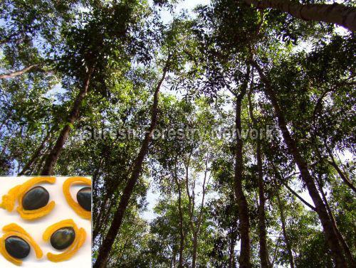 Acacia Springvale