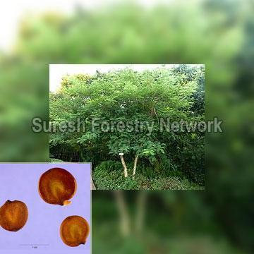 Acacia Suma