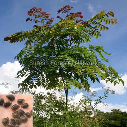 Acrocarpus Fraxinifolius