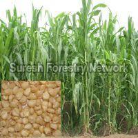 African Tall Maize