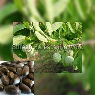 Annona Squamosa