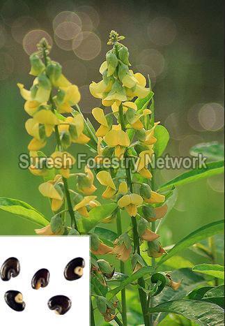 Crotoleria Strighta