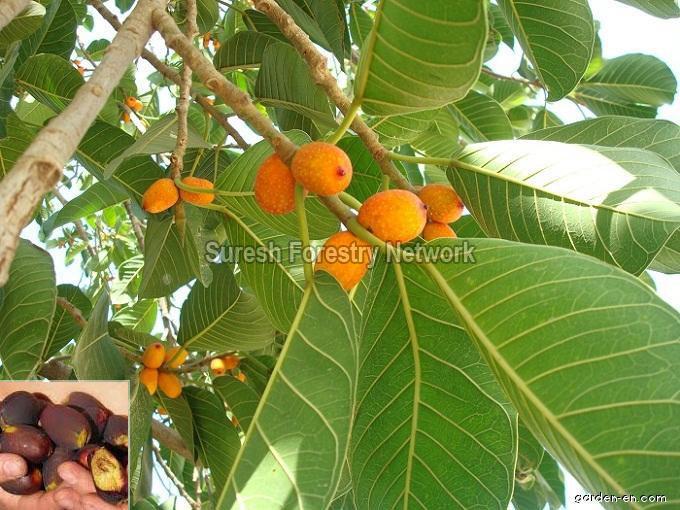 Ficus Mysorensis