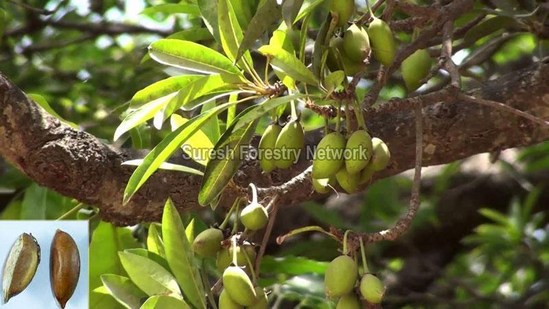 Madhuca Longifolia