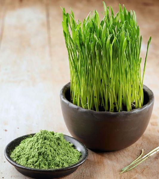 Wheatgrass Powder