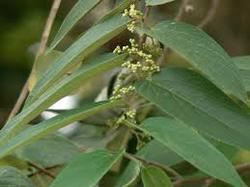 Jiwanti Leaves