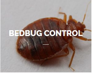 Bedbug Control Service