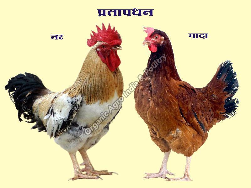 Live Pratapdhan Chicken