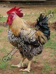 Live Srinidhi Chicken